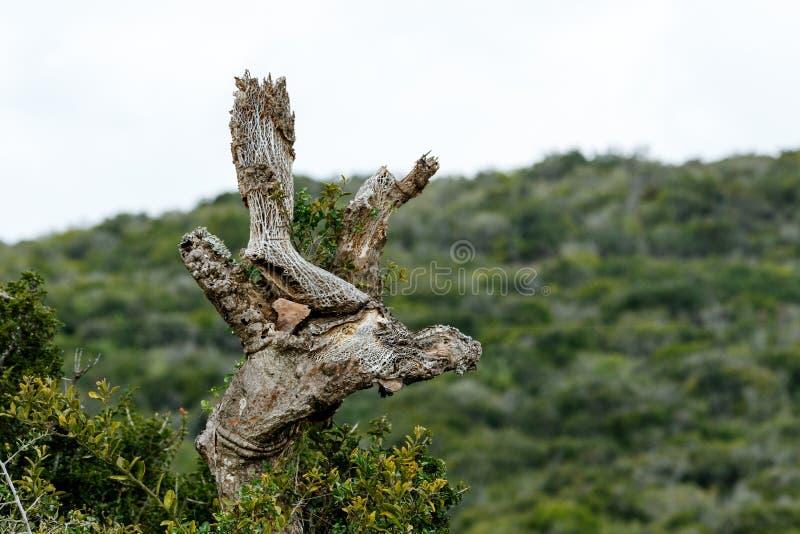 Baum-Wachstum - Addo Landscape stockfotografie