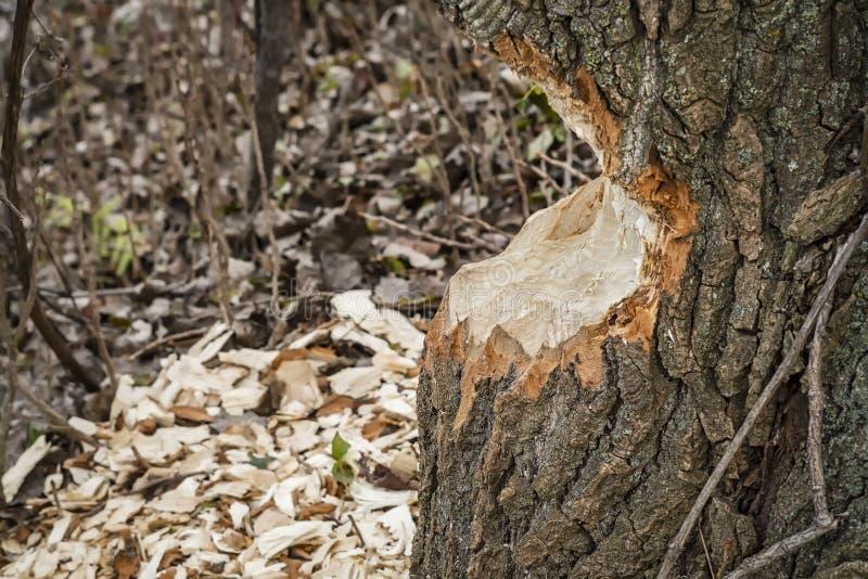 Baum weg gegessen durch einen Biber stockfoto