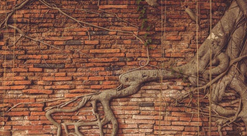 Baum-Wurzel auf dem alten Backsteinmauer-Hintergrund lizenzfreie stockfotografie