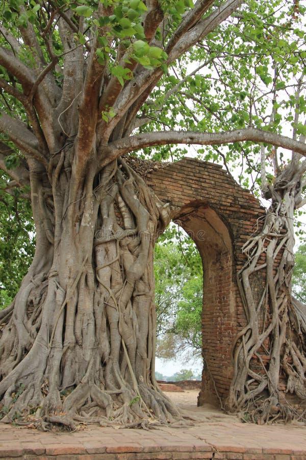 Baum-Wurzeln und Baumrinde mit alten Ziegelstein-Wänden stockfotos