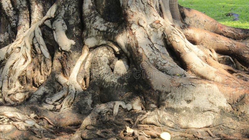 Baum-Wurzeln und Baumrinde mit grünem Gras lizenzfreie stockbilder