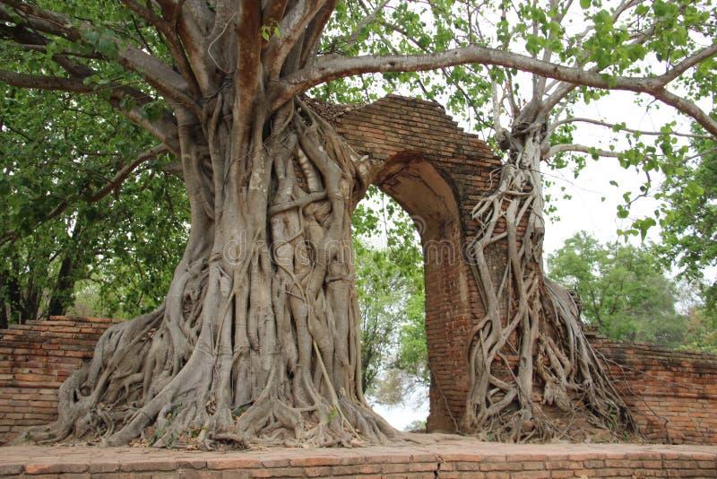 Baum-Wurzeln und Baumrinden mit alten Ziegelstein-Wänden stockbilder