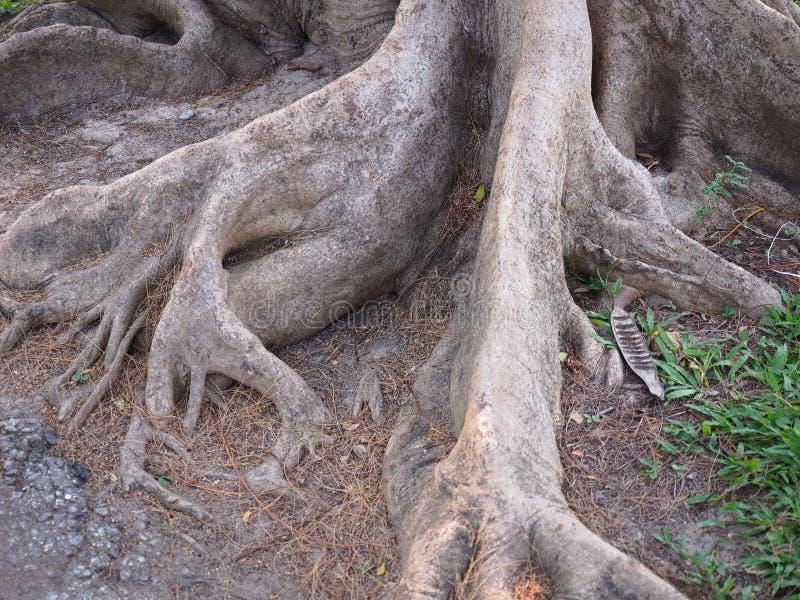 Baum wurzelt aus den Grund und das grüne Gras lizenzfreies stockfoto