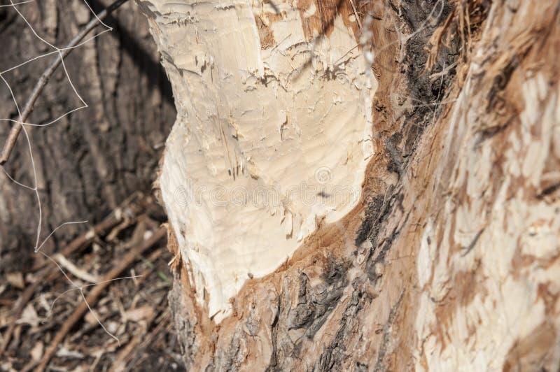Baum zerfressen durch einen Biber stockbild