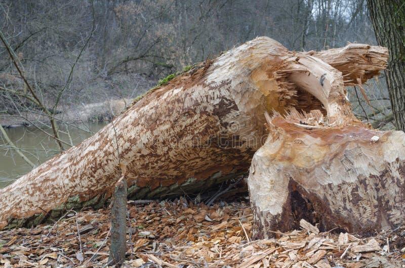 Baum zerstört durch Biber stockfotografie