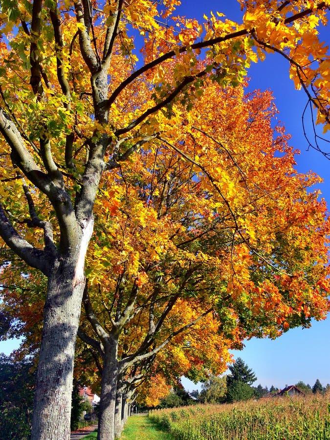 Baumallee mit schönem Herbstlaub vollständig… lizenzfreie stockfotos