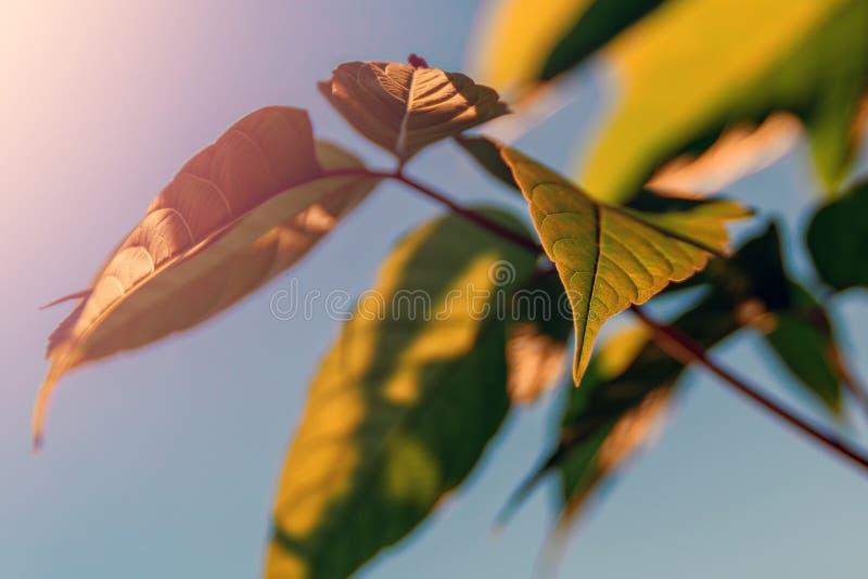 Baumast mit Grün verlässt im warmen Sonnenlicht gegen klaren blauen Himmel Selektiver Fokus Blatt gegenüber von Sonne und Himmel stockfotografie