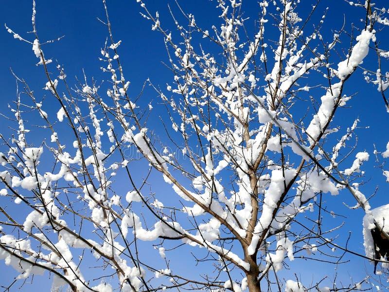 Baumaste im Schutz des Schnees stockfoto