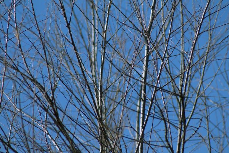 Baumaste ohne Blätter gegen den blauen Himmel lizenzfreies stockbild