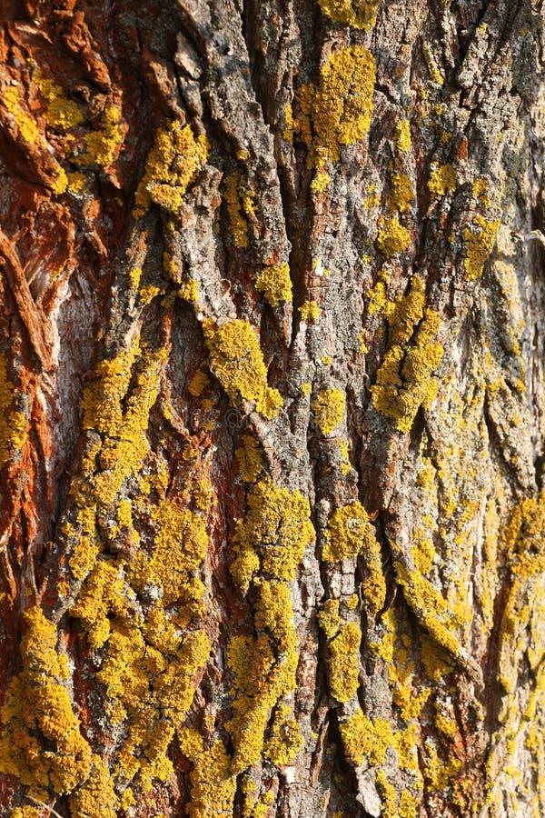 Baumbarkebeschaffenheit mit Moos lizenzfreie stockbilder