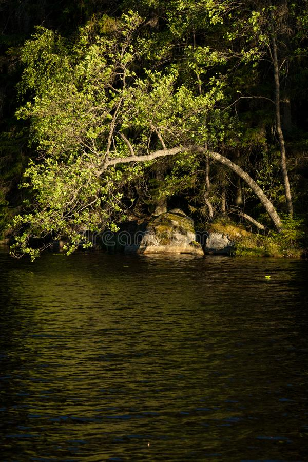 Baumbiegung über Wasser im Waldsee stockbild