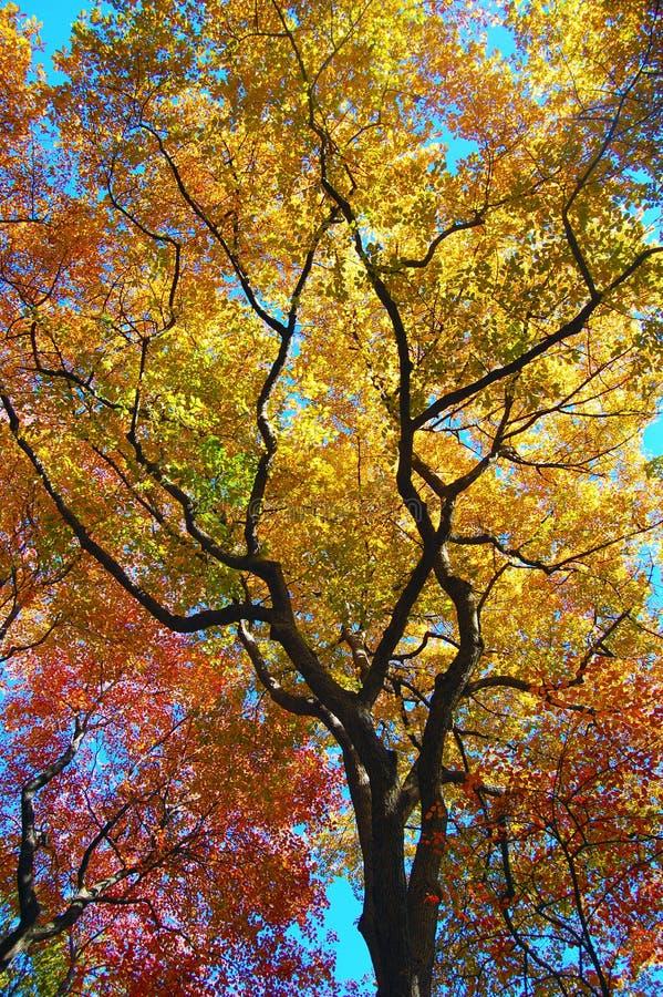 Baumblätter, die Farben als Falanflüge ändern stockbild