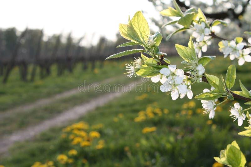 Download Baumblüte an einem Pfad stockbild. Bild von frühling, jahreszeit - 9094663