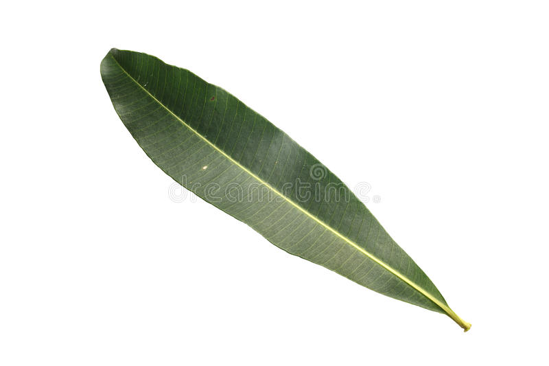 Baumblatt lokalisiert auf Weiß auf weißem Hintergrund lizenzfreie stockfotos