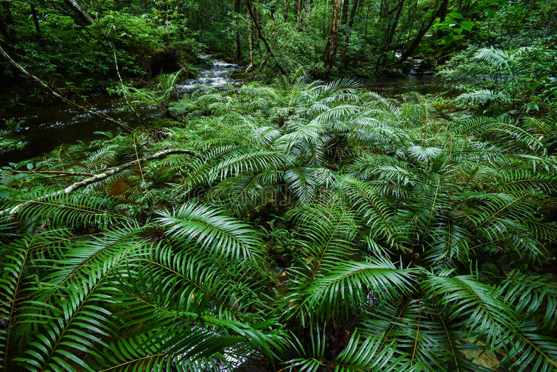 Baumfarntropischer regenwald stockfotografie