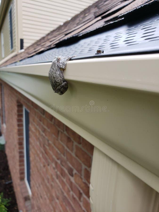 Baumfrosch, der vom Haus hängt lizenzfreies stockfoto