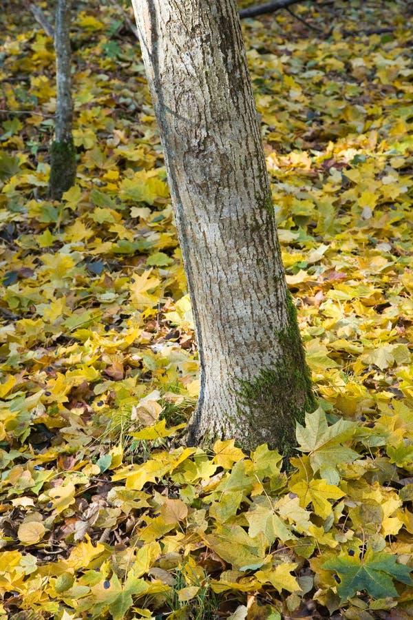 Baumkabel und -Ahornblätter lizenzfreies stockfoto