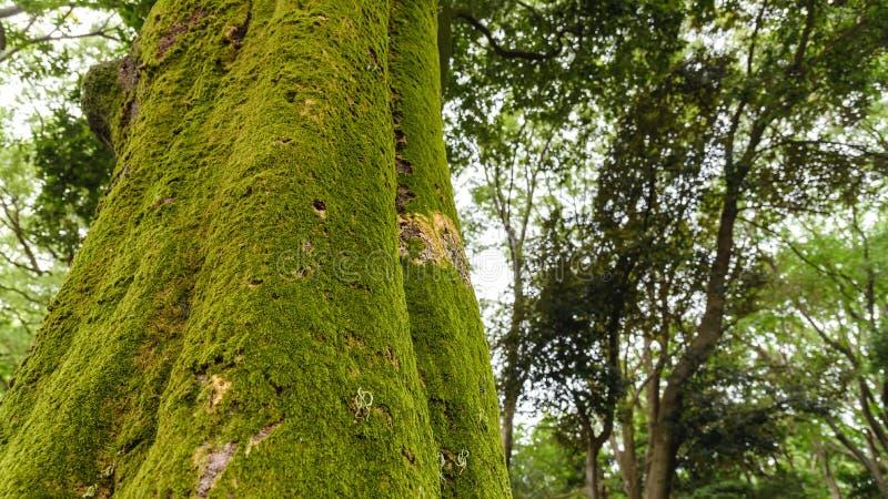 Baumrinde mit grünem moosigem grünes Moos, das auf Baumstamm im Regenwald wächst stockbild