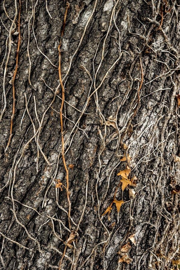 Baumrinde mit Rebe stockbilder