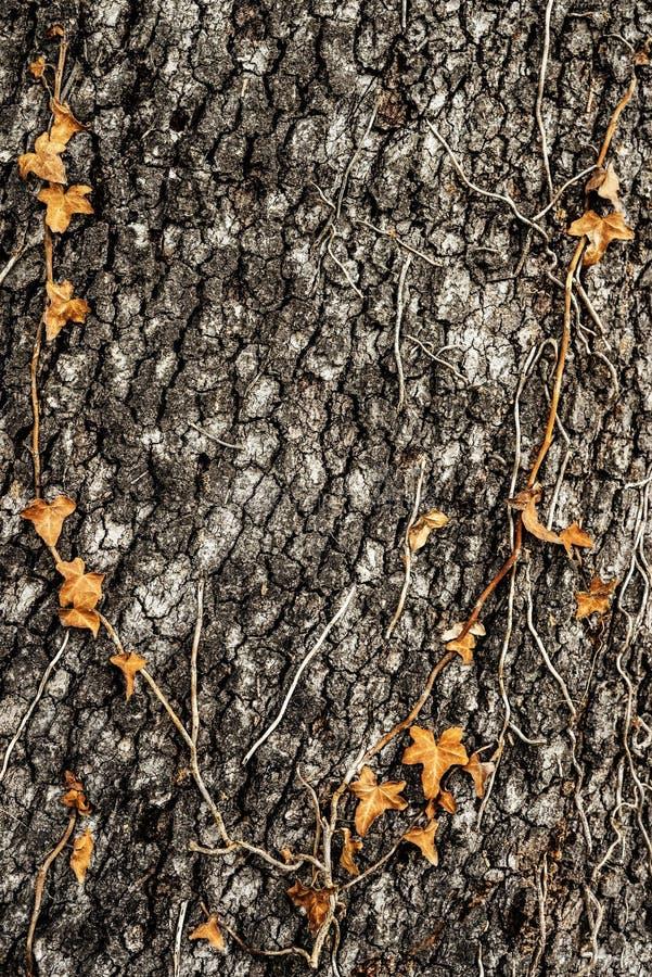 Baumrinde mit Rebe und Blättern lizenzfreies stockbild