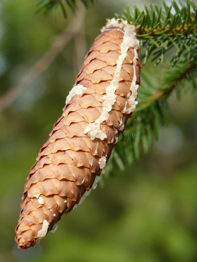Baumsafttropfenfänger unten zu einem Tannenzapfen lizenzfreie stockfotos