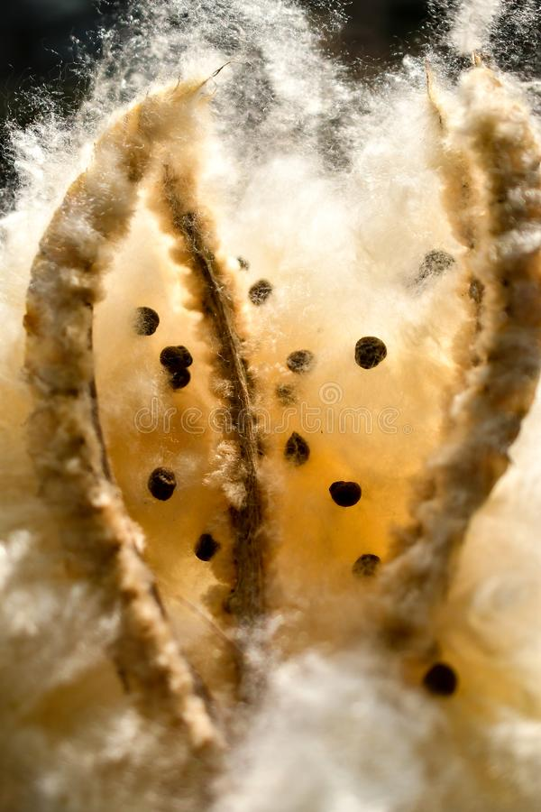 Baumsamenverbreitung des Kapoks silk Baumwoll stockbilder