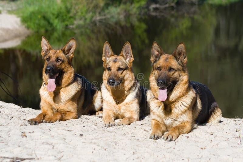Baumschäferhunde stockfotos