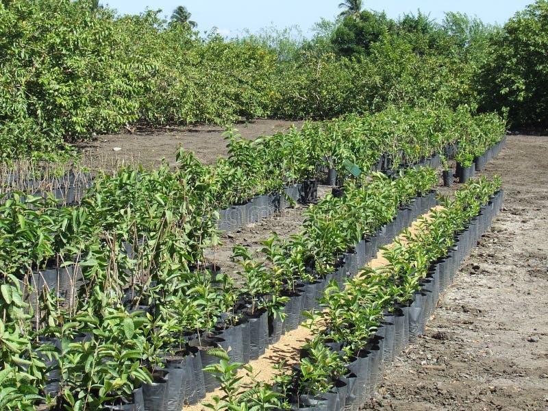Baumschulenplantage der Guajavabäume lizenzfreie stockfotos