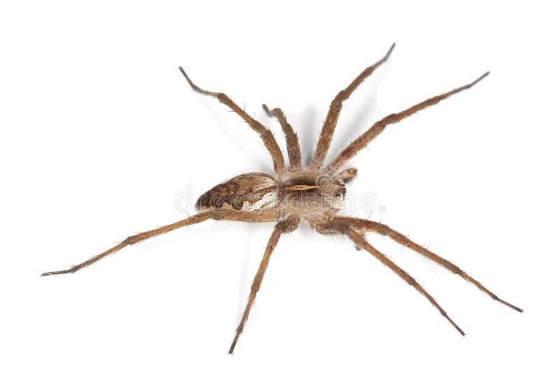 BaumschulenWeb spider (pisaura acoreensis) stockfotos