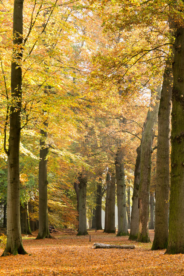 Baumstämme und gefallene Blätter im Herbst, Baarn, die Niederlande stockbild