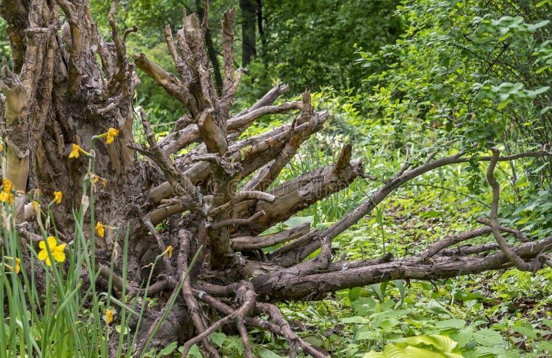 Baumstumpf im Landschaftsentwurf des Parks alte Baumwurzeln Baumstumpf auf dem Hintergrund der Natur lizenzfreies stockfoto