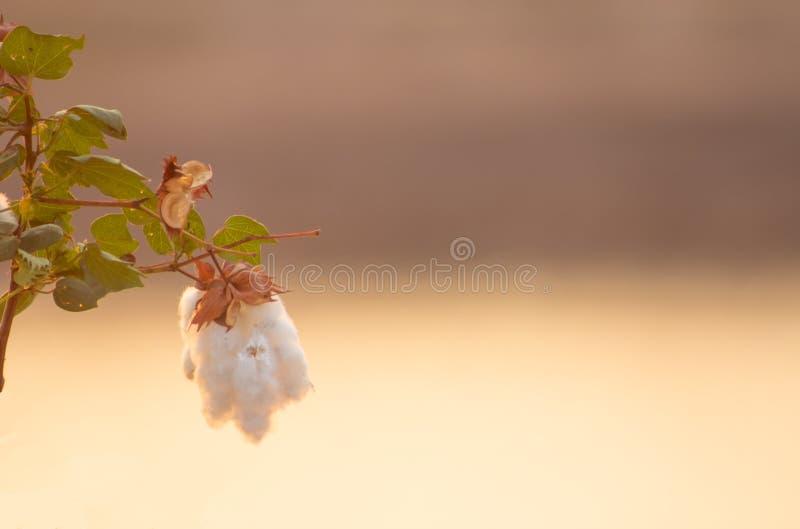 Baumwollblume lizenzfreie stockbilder