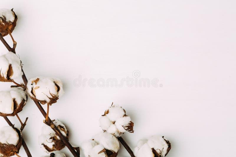 Baumwollblumen auf weißem Hintergrund lizenzfreie stockfotos
