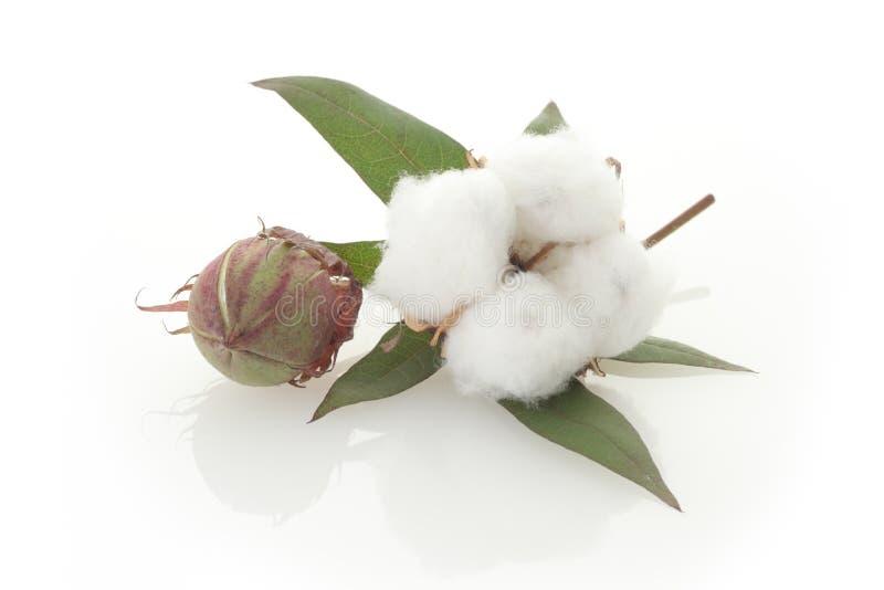 Baumwolle stockbilder