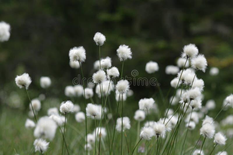 Baumwolle-Gras stockbilder