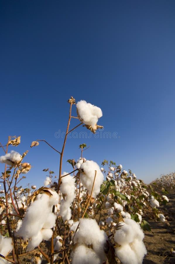 Baumwollfeld an der Ernte stockbild