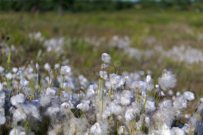 Download Baumwollgras im Sumpf stockfoto. Bild von ansicht, blumen - 27727718