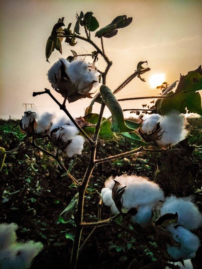 Baumwollpflanze im landwirtschaftlichen Betrieb stockbilder