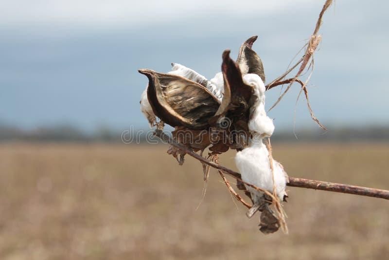 Baumwollsamen auf dem Gebiet in Mississippi lizenzfreies stockfoto