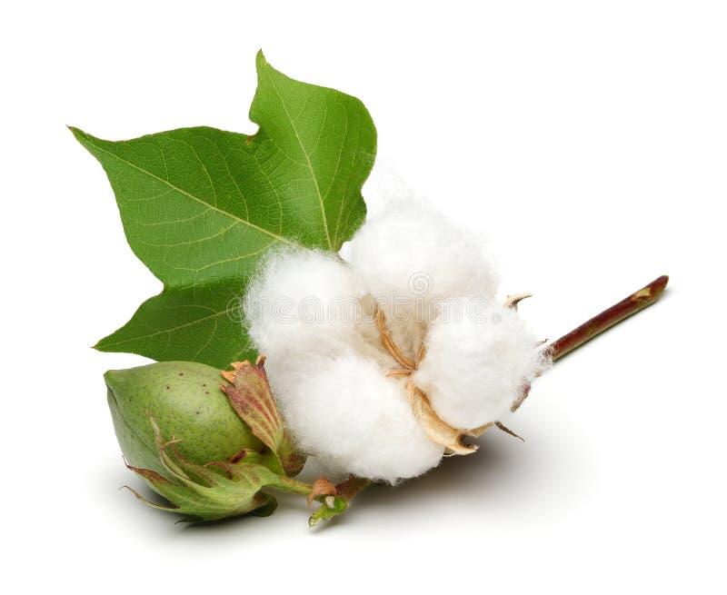 Baumwollstrauch und grüne Baumwollkapsel mit dem Blatt lokalisiert lizenzfreies stockfoto