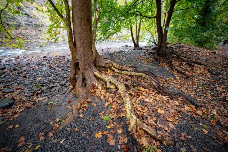 Baumwurzeln herausgestellt am Rand des Fallnebenflusses an der Basis von Ithaca Falls, New York lizenzfreie stockfotos