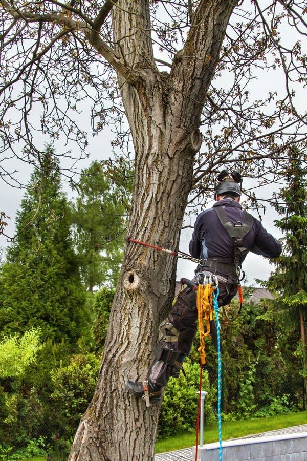 Baumzüchter, der eine Kettensäge verwendet, um einen Walnussbaum zu schneiden Holzfäller mit sah und Geschirrbeschneidung ein Bau stockfotografie