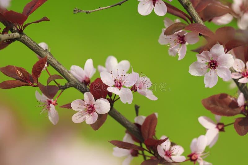 Baumzweig mit roten rosafarbenen Blumen lizenzfreie stockfotografie