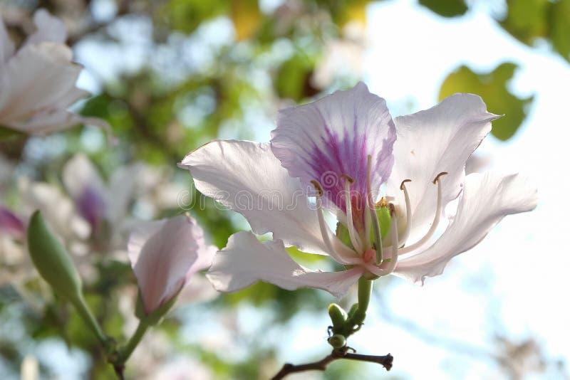 Bautiful白花,紫荆花variegata,兰花, Camel' s Foo 免版税库存照片