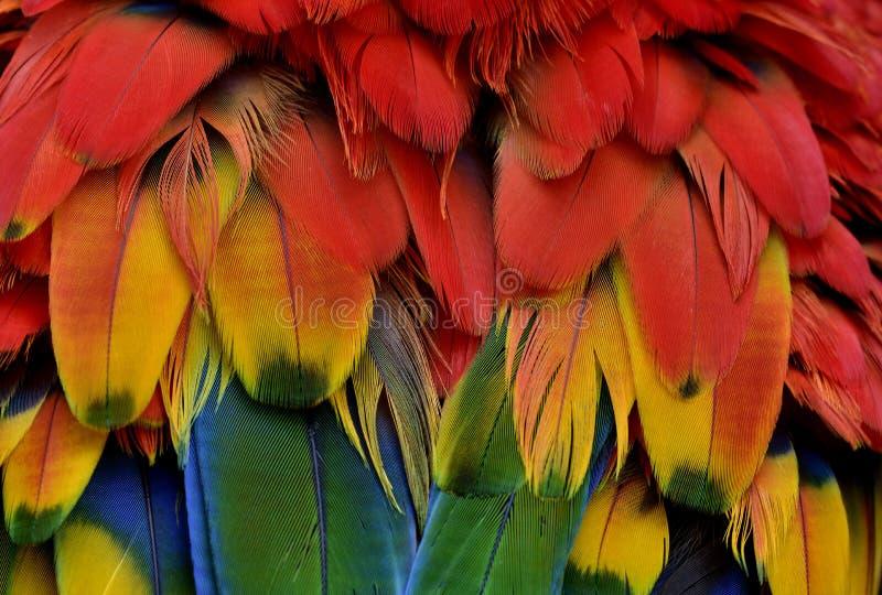 Bautiful红色和黄色与猩红色金刚鹦鹉parro绿色树荫  免版税图库摄影