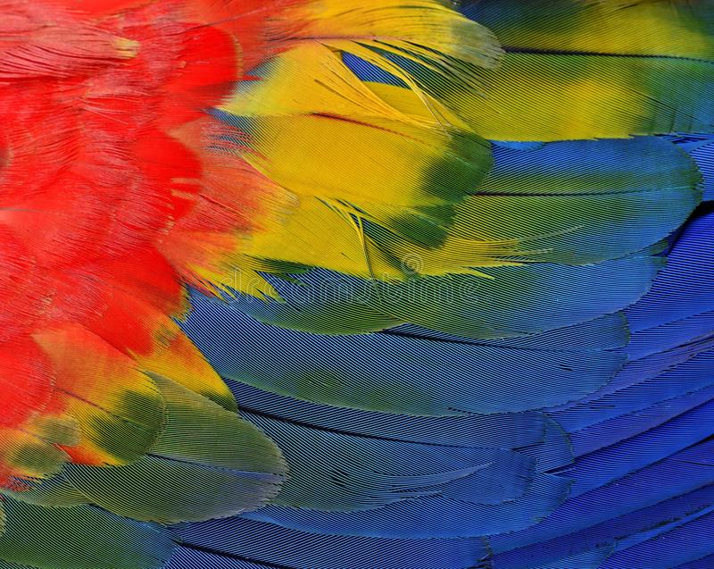Bautiful red, yellow and blue texture of Scarlet macaw parrot bi stock photo