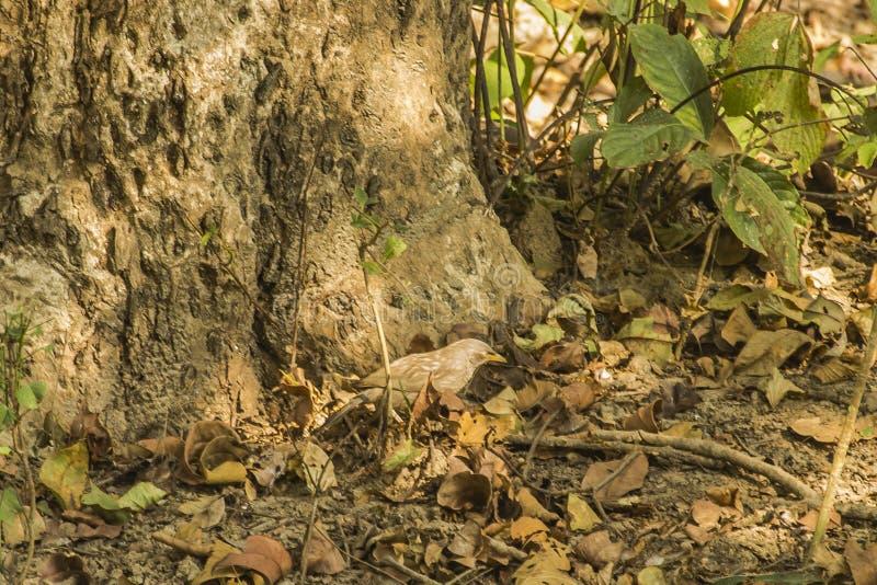 Bavard de jungle photographie stock