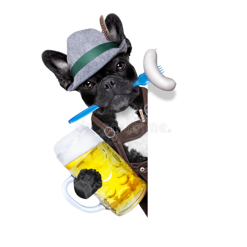 Bavarian beer celebration dog. Cool bavarian german french bulldog dog with beer mug and sausage in mouth , behind blank empty banner or placard , on white royalty free stock image