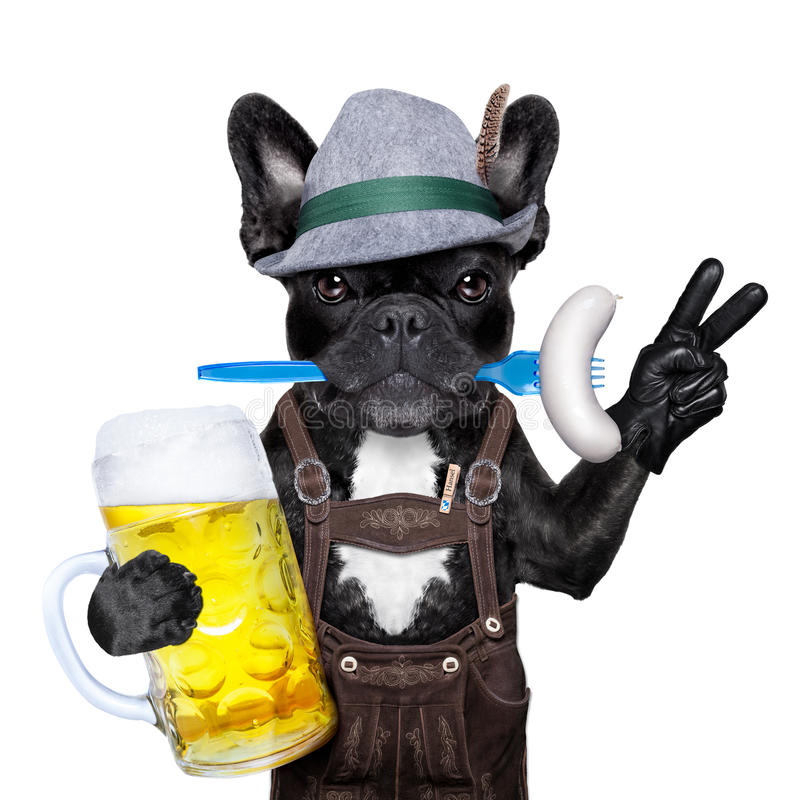 Bavarian beer celebration dog. Cool bavarian german french bulldog dog with beer mug and sausage in mouth , victory or peace fingers , on white background royalty free stock photo