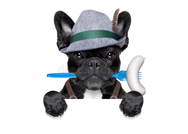 Bavarian beer celebration dog. Cool bavarian oktoberfest german french bulldog dog with beer mug and sausage in mouth , behind blank empty banner or placard stock image